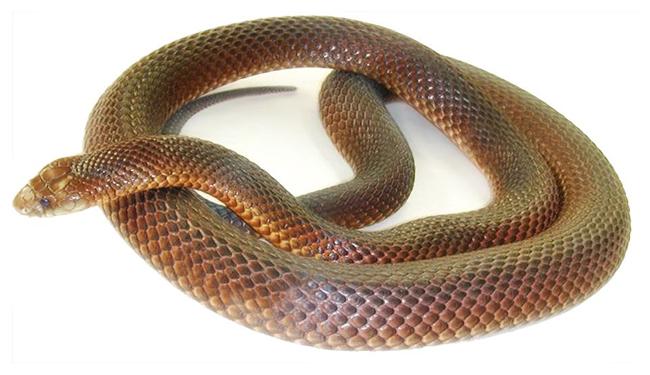 Snake650pw